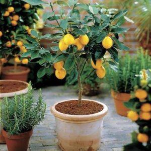 learn-to-grow-lemon-in-pot